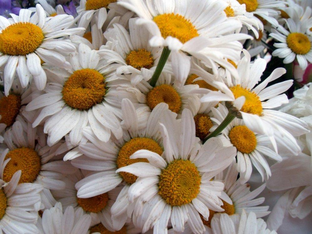 Букеты цветов картинки ромашки 4