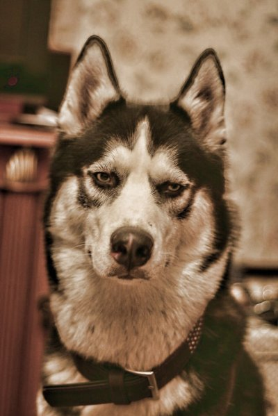 Купить собаку или щенка в Воронеже и области  Доска