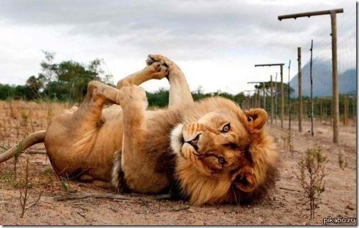 картинки прикольных львов