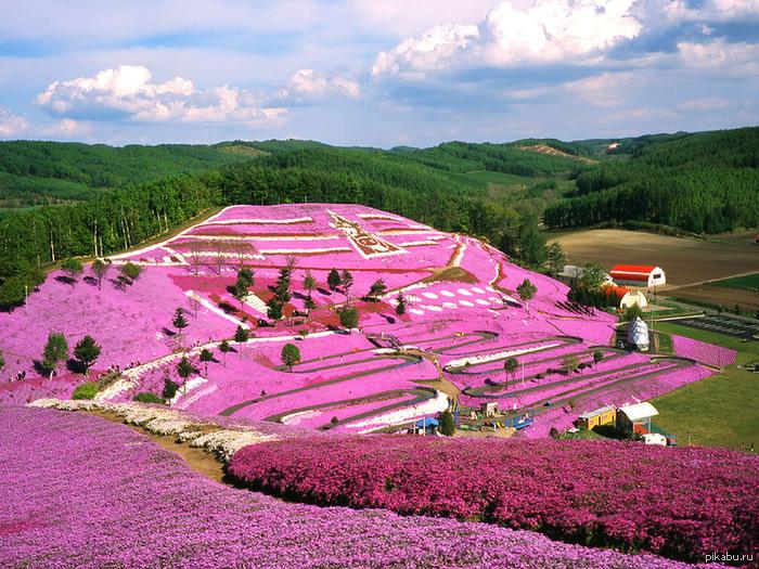 Буйства красок цветущей shibazakura весной