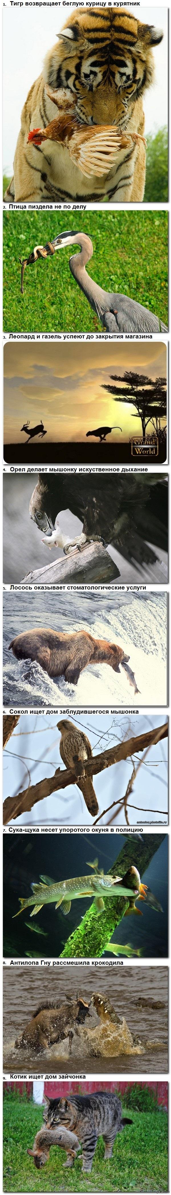 Навеяло постами про хищников! Животные помогают друг другу (длиннопост)  Хищники, жертвы, взаимопомощь