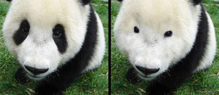 Как выглядит панда - 4