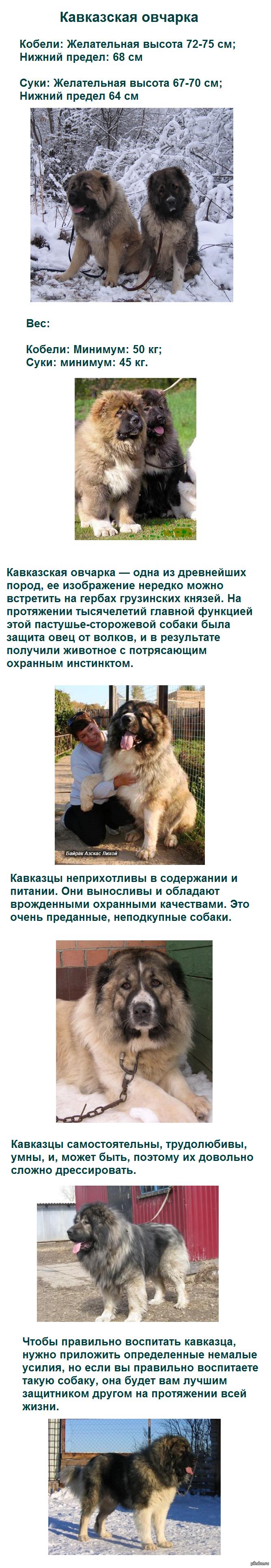 Трусливая кавказская овчарка 25 фотография