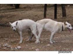 почему собаки слипаются при спаривании фото