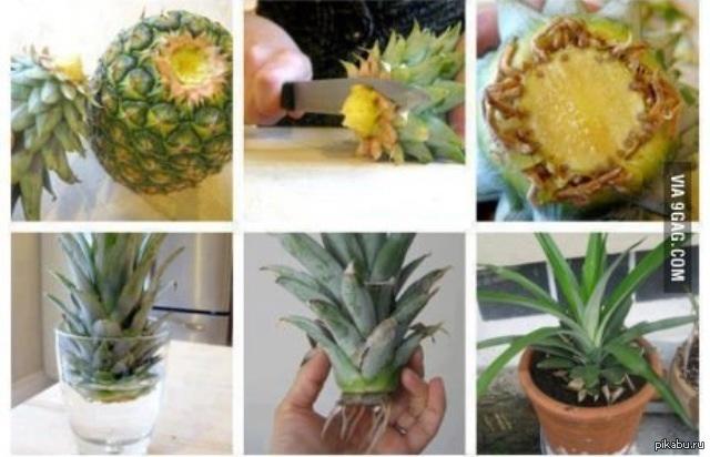 Выращивание ананасов в домашних условиях с фото