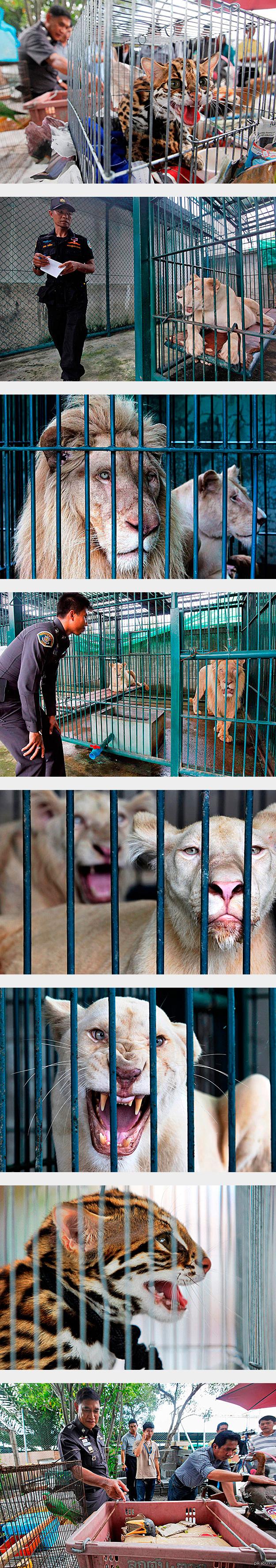 Дикий конфискат(осторожно, много картинок) Намедни в Таиланде был задержан владелец зоомагазина, который, как предполагает полиция, занимался перепродажей диких животных.