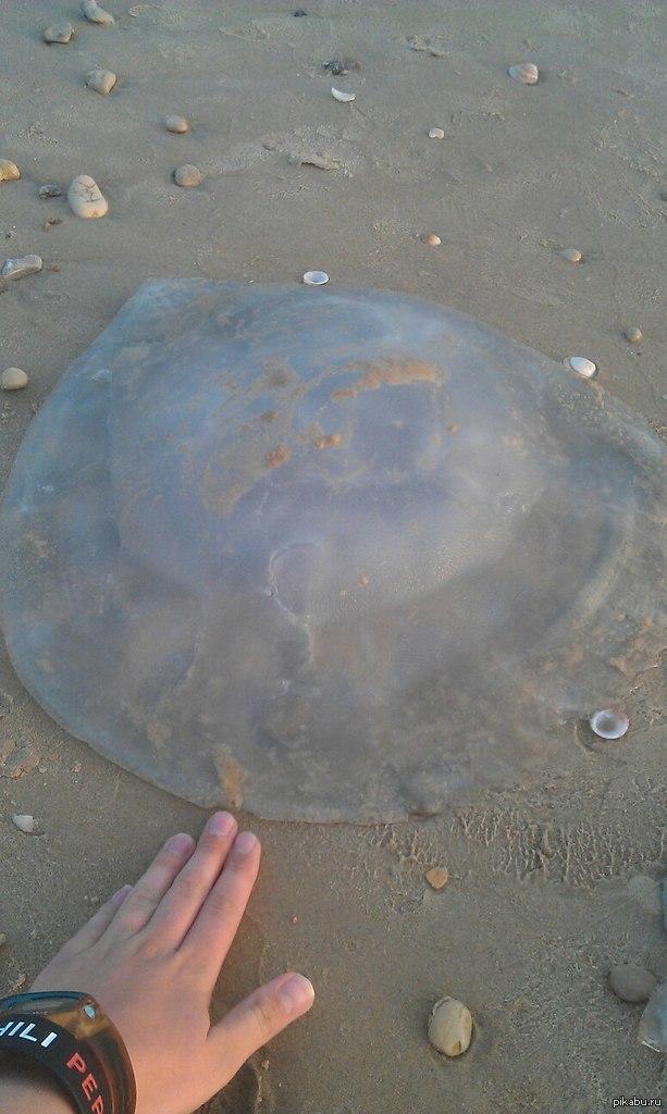 Познакомьтесь.  Средиземноморские медузы!