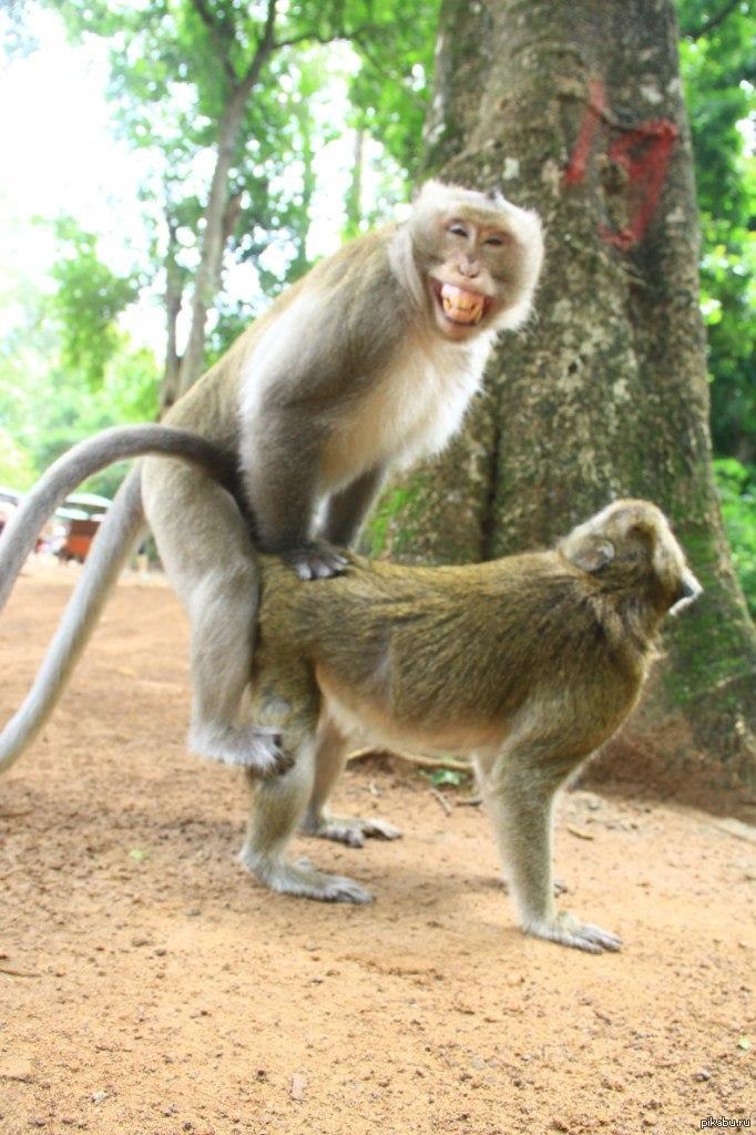 обезьяны с обезьянами ебутся