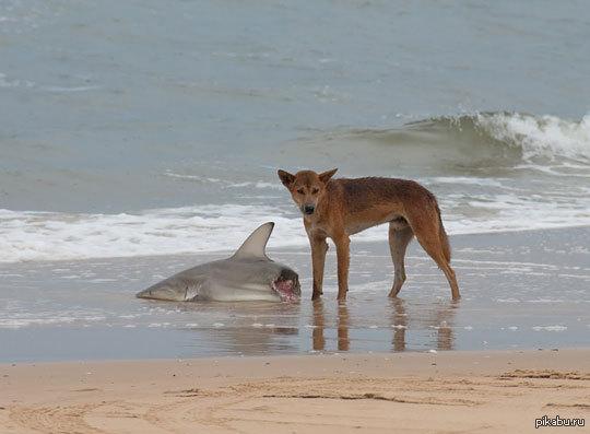 Австралия акула собака динго фото