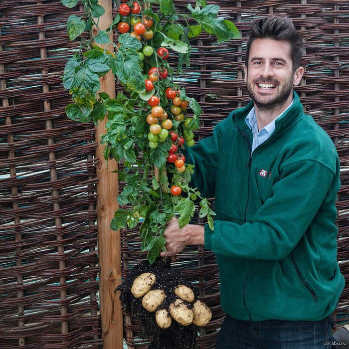 Вершки и корешки Британская компания Thompson & Morgan воплотила в жизнь старую мечту садоводов из разных уголков планеты. Описание в комментариях.  картошка, помидор, гибрид, британские ученые
