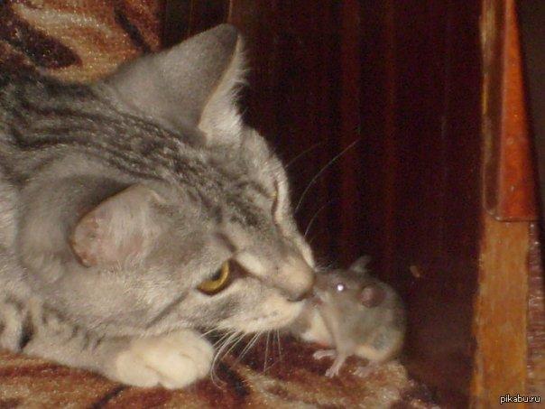 кто чаще ловит мышей кот или кошка