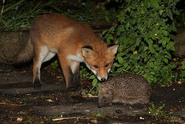 isaiah berlin hedgehog and the fox essay This fragment of verse by the greek poet archilochus describes the central thesis of isaiah berlin's masterly essay on tolstoy the hedgehog and the fox is a triumph.