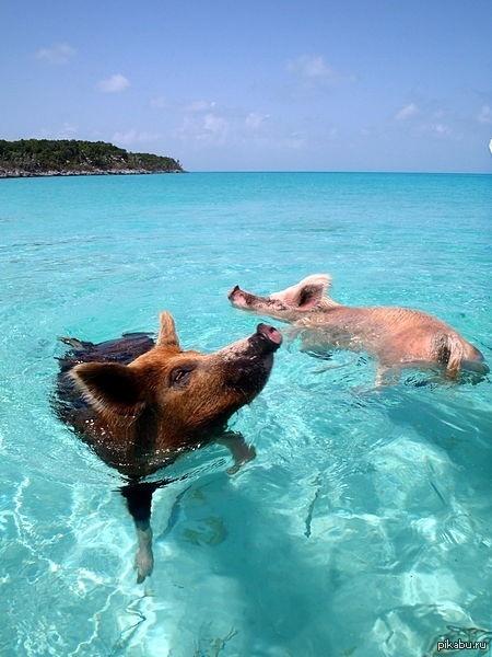 Просто свиньи на Багамах.