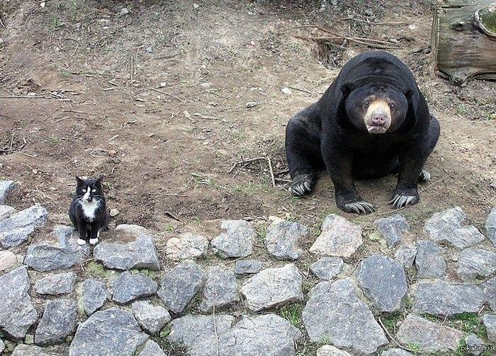 кот и медведь