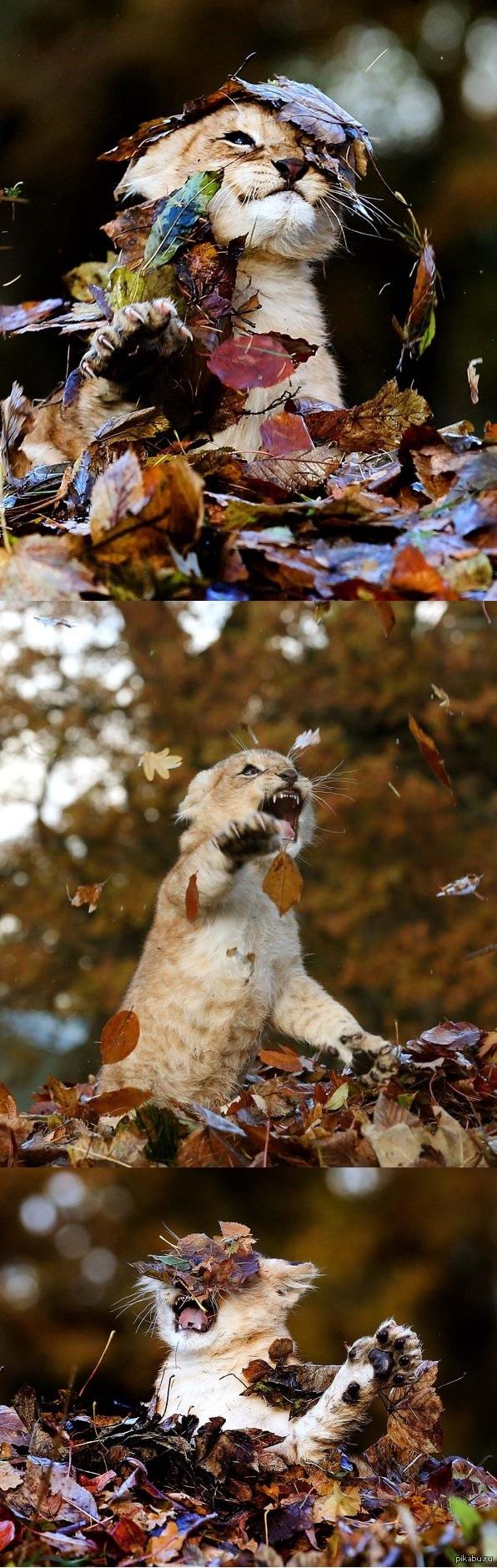 Львенок на прогулке