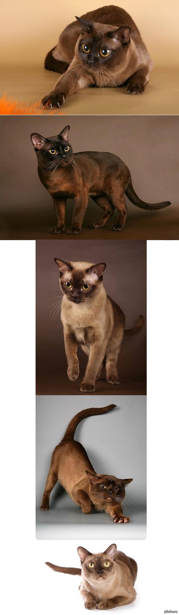 Красавица Бурма Бурманская - порода короткошерстных кошек. Ее отличает мускулистое, крепкое тело, блестящая шерсть и большие глаза желтого цвета.