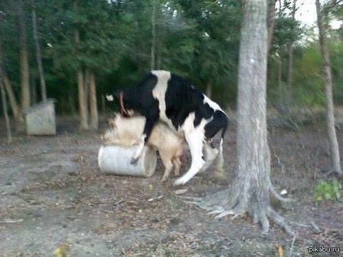 Секс коровы с быком